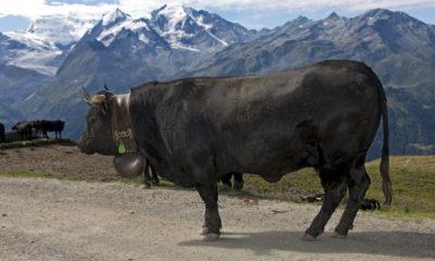 655-402-krava-ot-porodata-herens