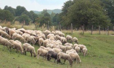 ovce-jivotni-422494-810x0