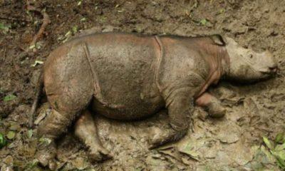 umria-posledniiat-nosorog-malaiziia-826