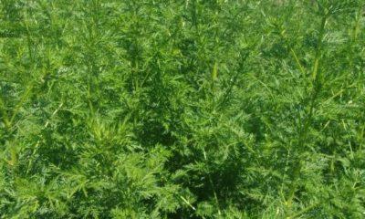 сладък пелин растения